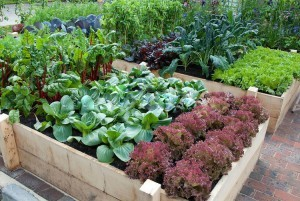 Vegetable Garden with Lettuces