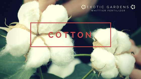 grow cotton in your garden