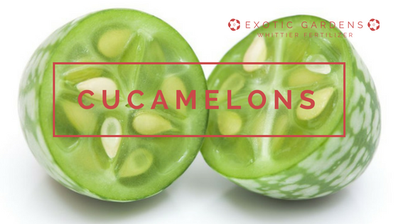 gor cucamelons in your garden