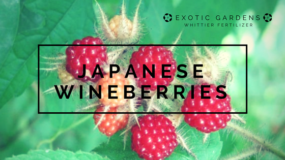 grow japanese wine berries in your garden