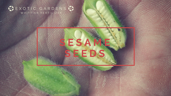 gorw sesame seeds in your garden