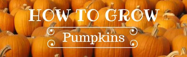 grow pumpkins for the next halloween