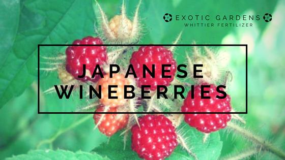 grow japanese wine berries in your garden