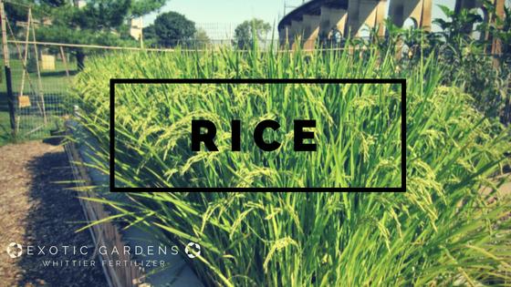grow rice in your garden