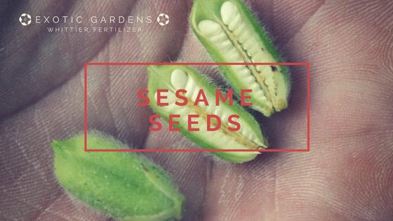 gorw sesame seeds in your garden