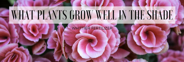What Plants Grow Well In The Shade Whittierfertilizer Com